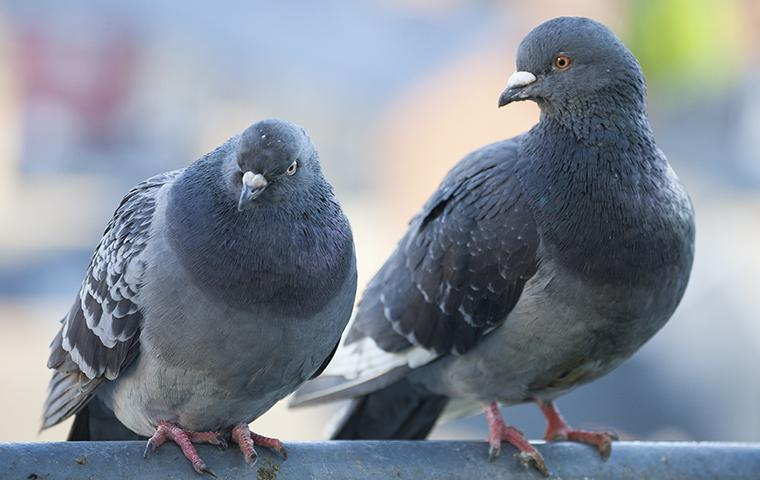 two pigeons perched outside a home