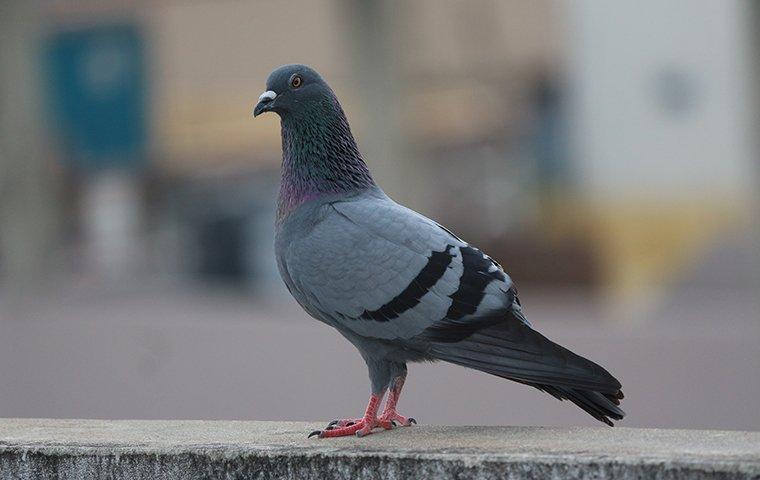 pigeon standing on sidewalk on city street
