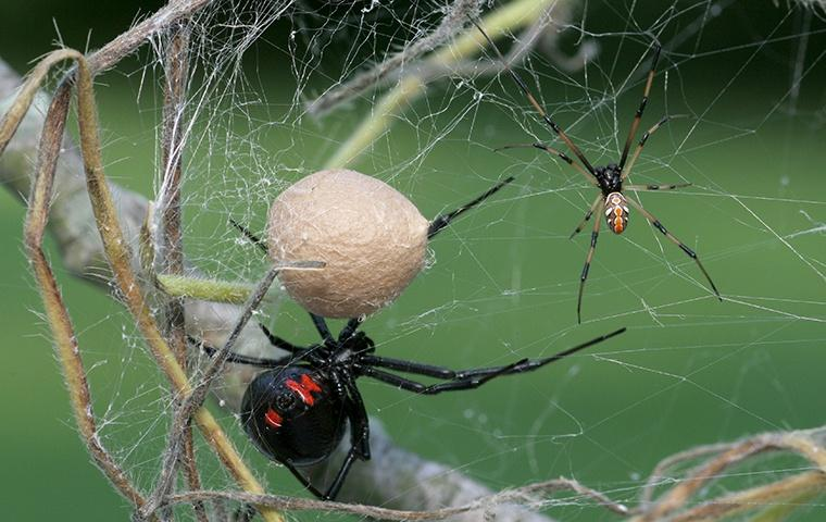 black widow with egg sack