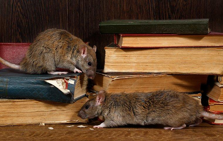 a rodent infestation of rats chewing on books