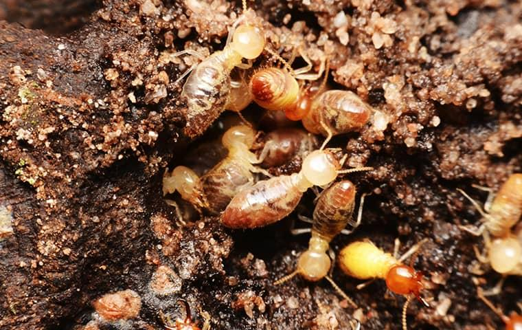 a cluster of worker termites chewing wood