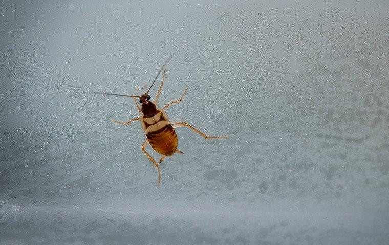 brown banded cockroach on window