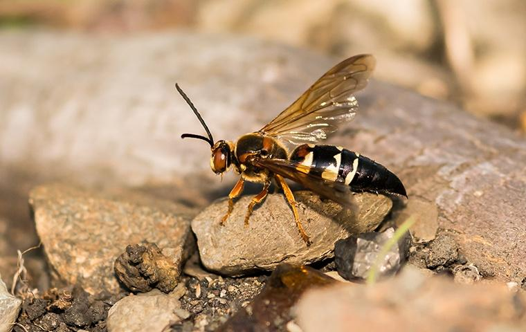 a cicada killer on a rock