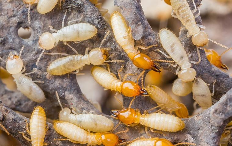 many dry wood termites on dead wood