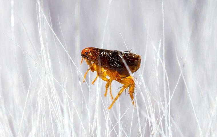 flea in white animal fur