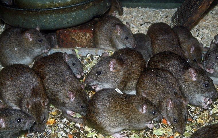 a large group of rodents eating scraps