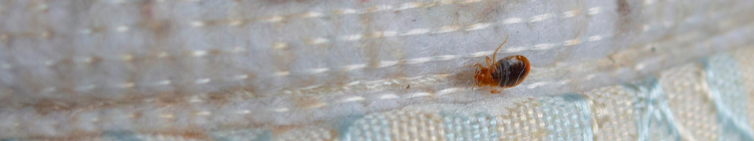 bed bug crawling along edge of mattress