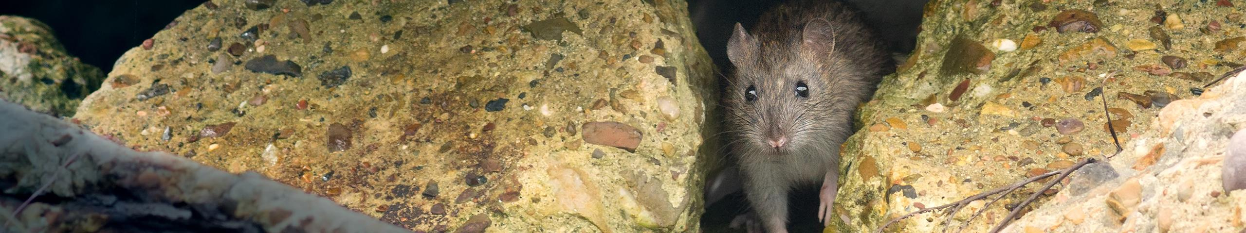 a rat peaking out between two rocks
