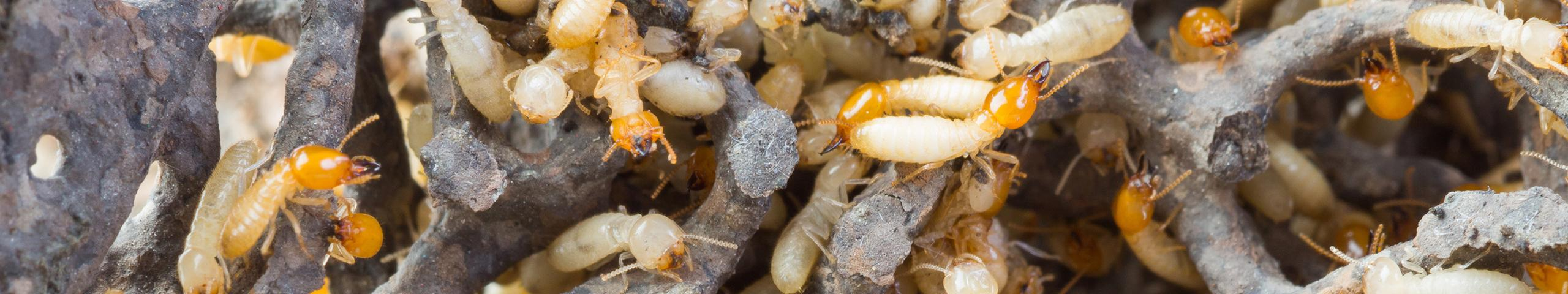 many termites in hollowed out wood