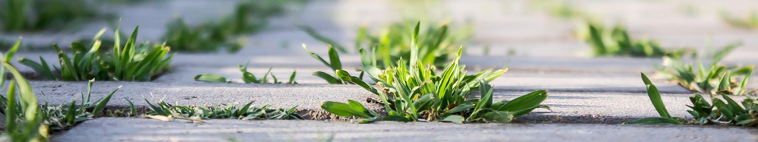weeds growing in sidewalk cracks