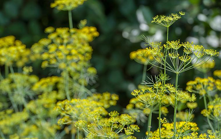 yellow flowering weeds in yard