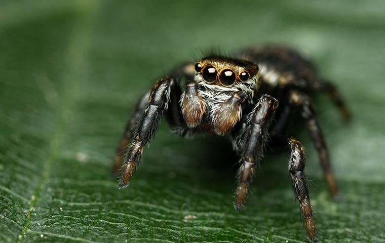 a small nuisance jumping spider on a leaf