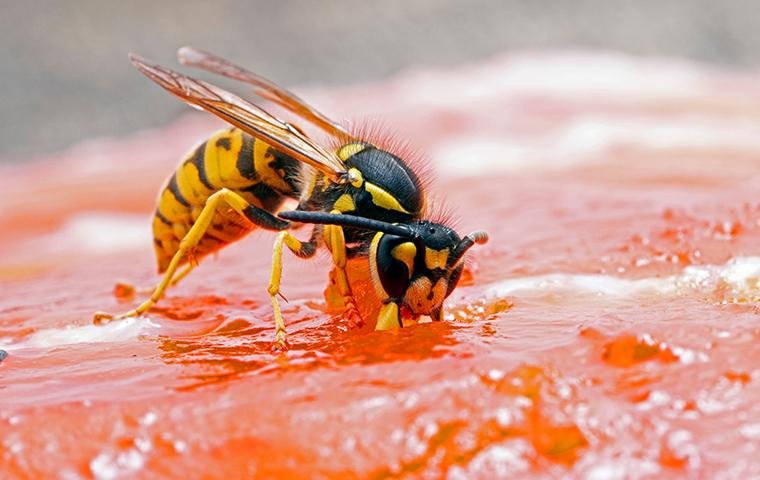 yellow jacket eating a piece of salmon