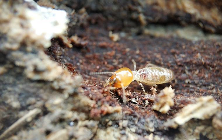 a termite crawling on the ground outside a home