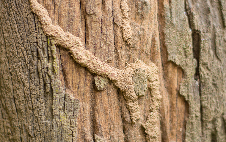 a termite damaged tree