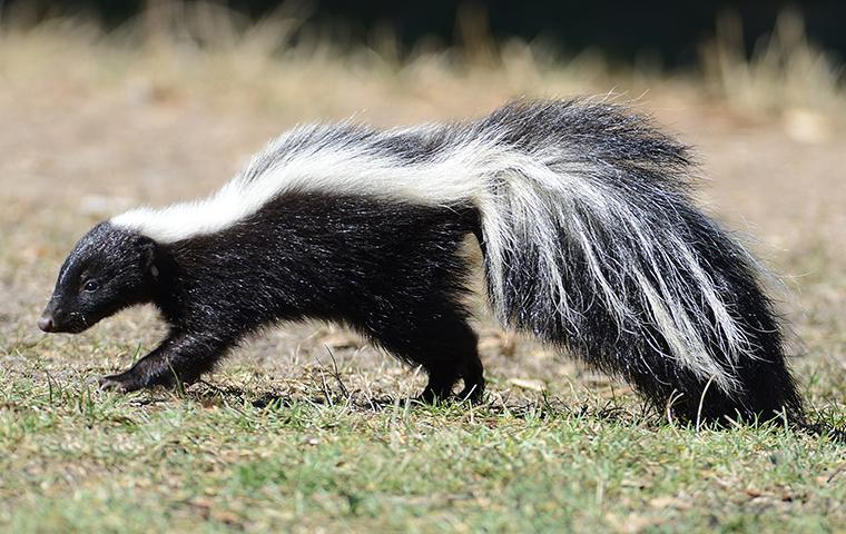 a skunk outside of a home