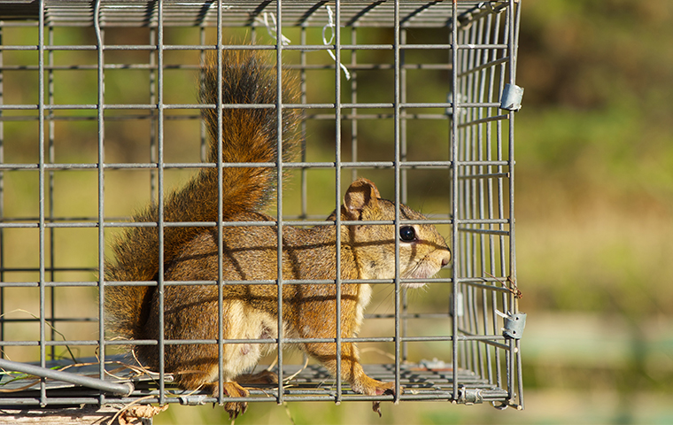 a squirrel in a live trap