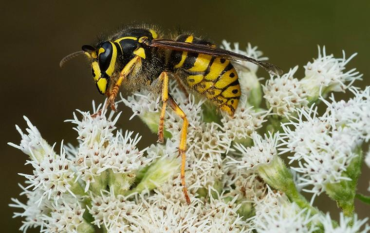 a yellow jacket perched on some small white blossoms