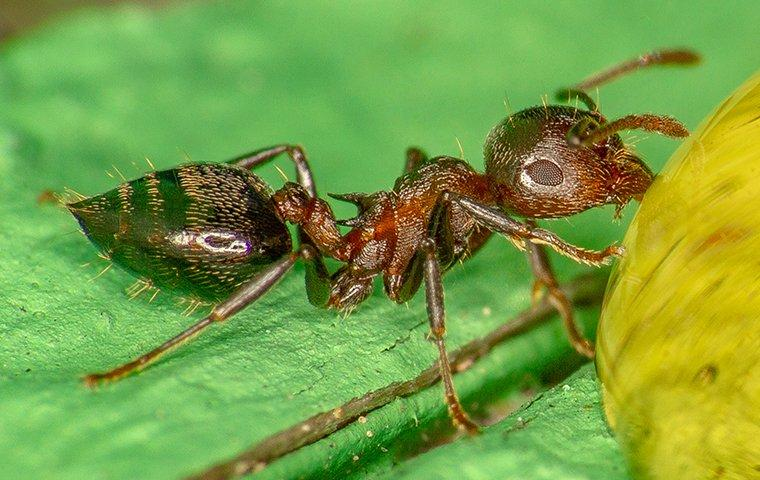 acrobat ant up close in north carolina