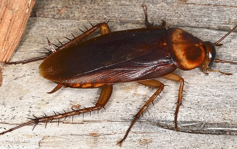 american cockroach on wood