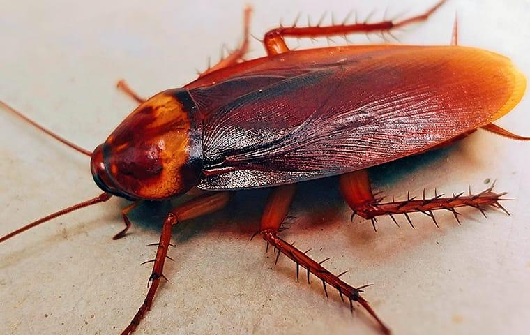 american cockroach up close in north carolina