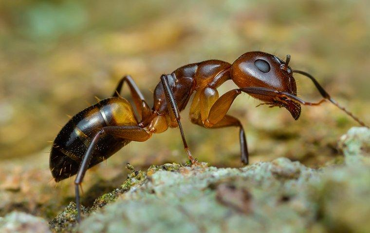 argentine ants up close