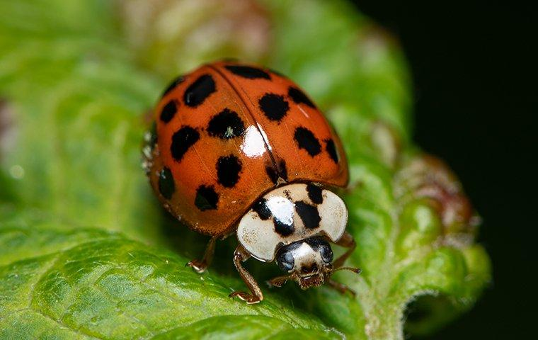 asian lady beetle eating a leaf