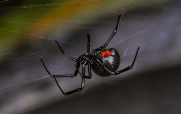 black widow on web