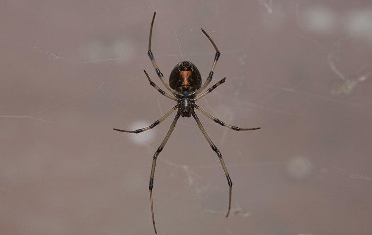 a black widow spider crawling on a web