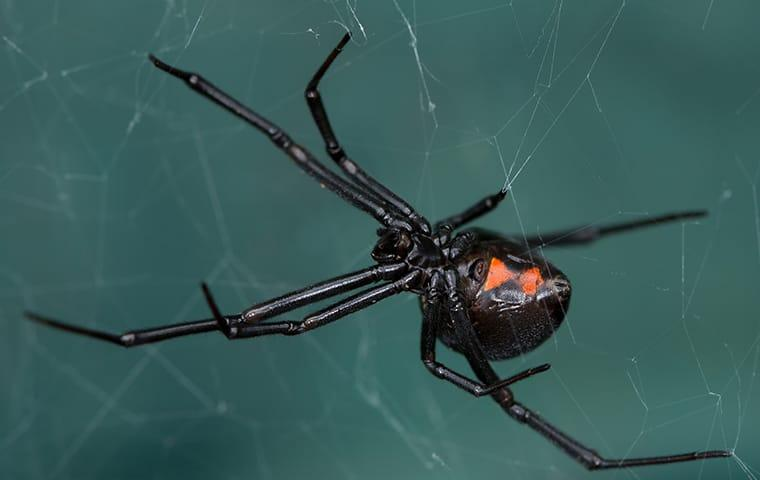 a black widow spider in its web at a home in elizabeth city north carolina