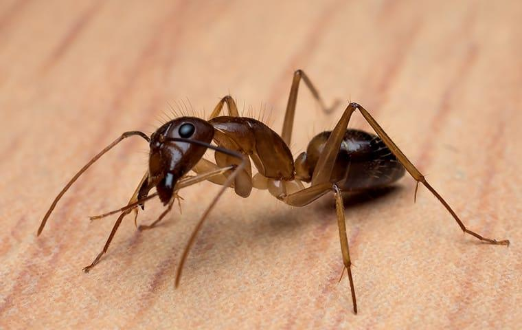 a carpenter ant on the floor of a home in elizabeth city north carolina