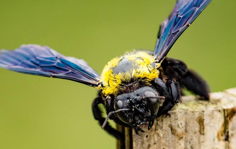 carpenter bee crawling on wood