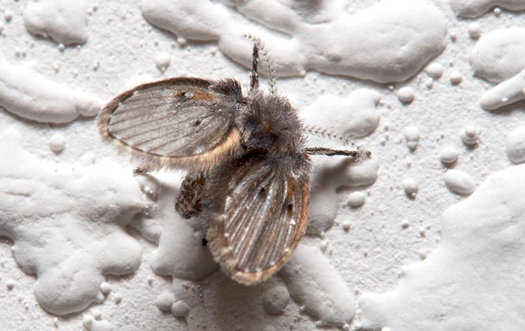 drain fly on bathroom wall