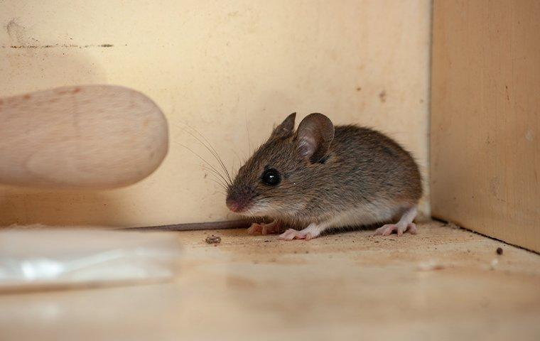 house mouse in kitchen cupboard