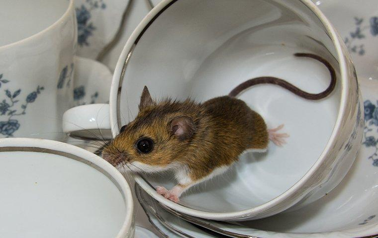 house mouse in kitchen teacups