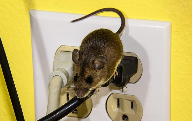 a mouse crawling on an electric chord in a home in elizabeth city north carolina
