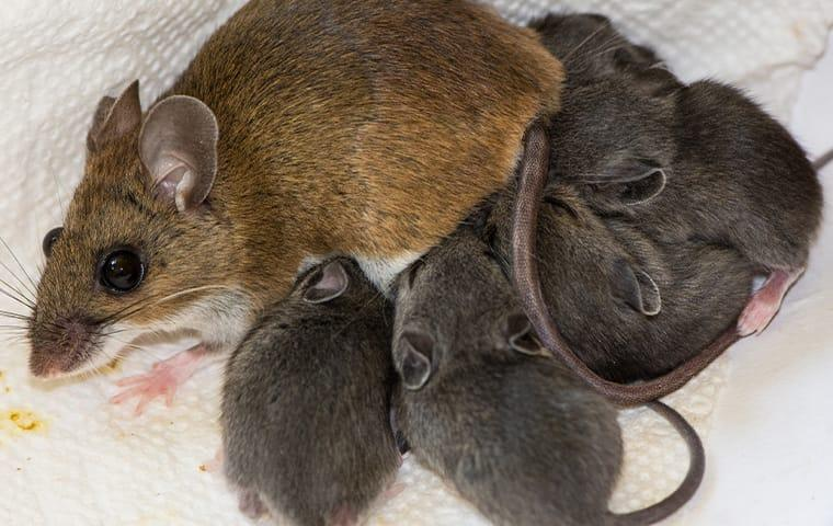 a mouse feeding her babies in a home in elizabeth city north carolina