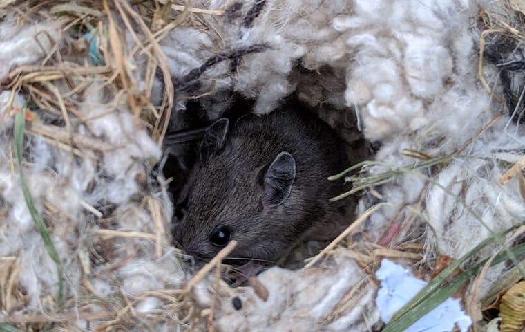 a house mouse hiding with in the insulation of an elizabeth city north carolina home