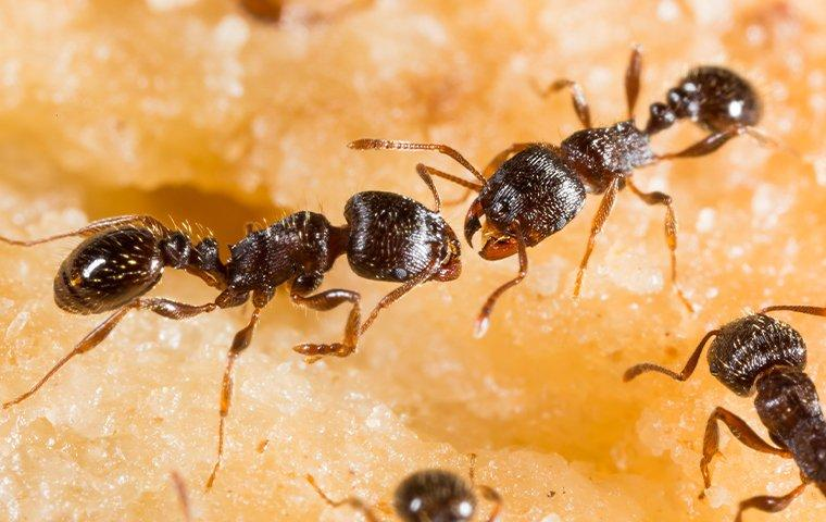 up close image of two pavement ants crawling on fruit