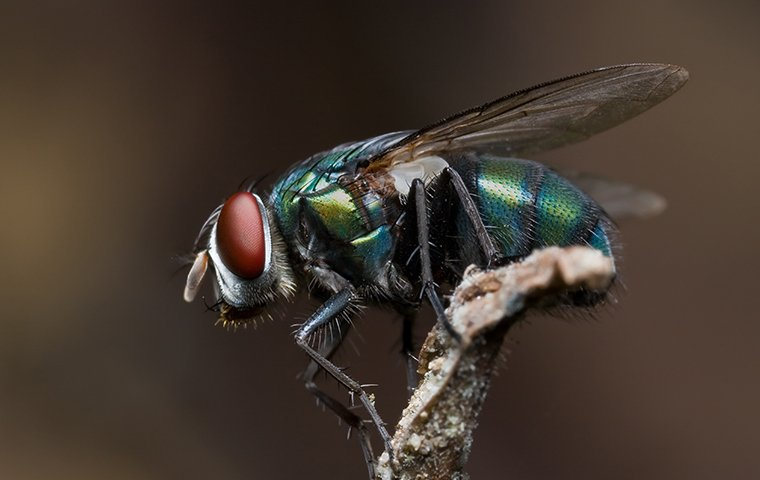 bottle fly on a twig