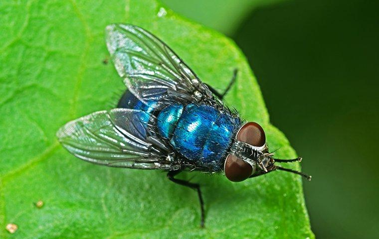 bottle fly on leaf