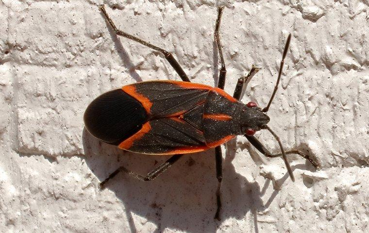 box elder bugs in building