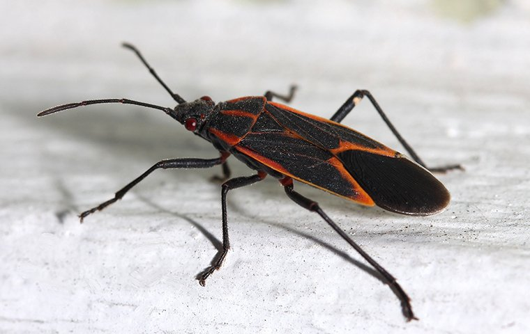 box elder bug on home