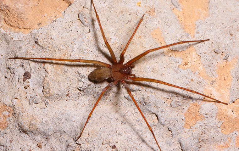 brown recluse on rock
