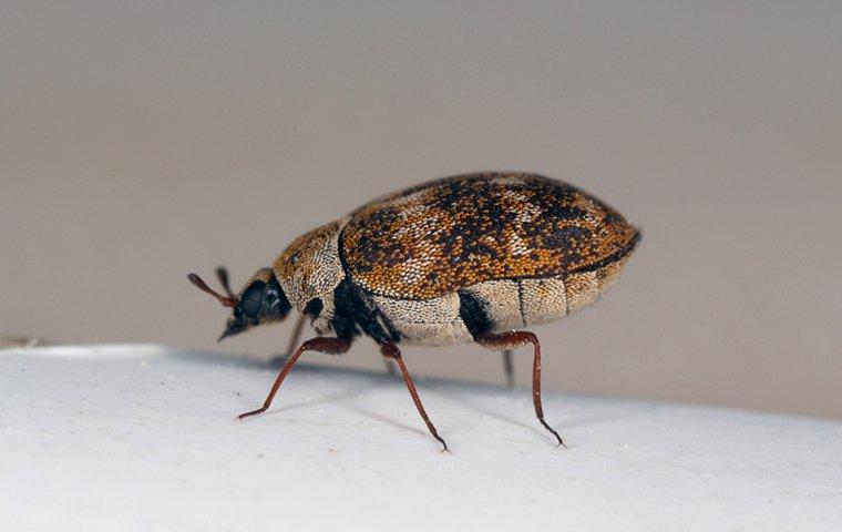 carpet beetle on table