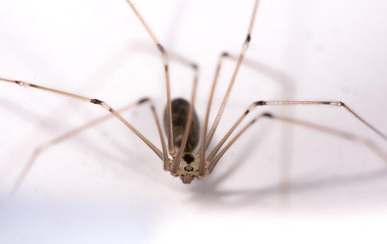 cellar spider on white floor