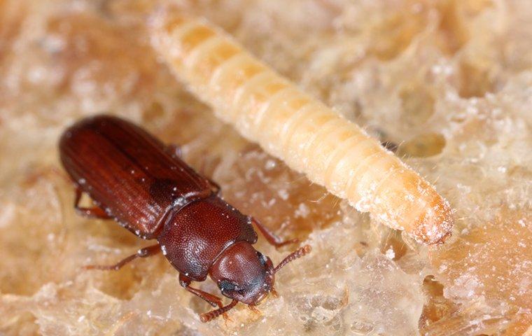 confused flour beetles and larva