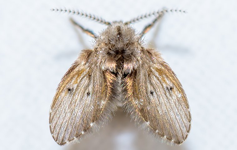 drain fly on white wall
