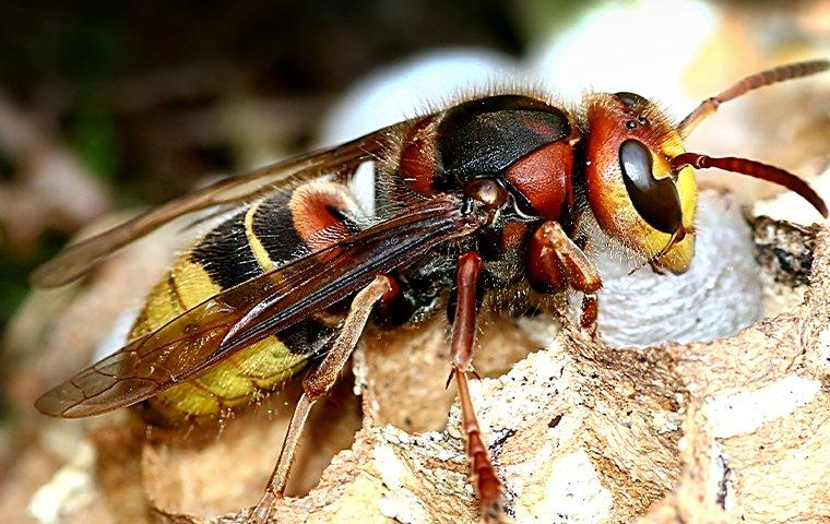 european hornet on nest
