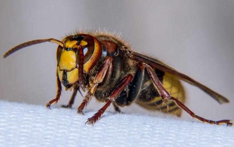european hornet on paper towel